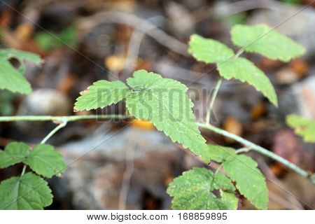 Toxicodendron diversilobum , Rhus diversiloba, commonly named Pacific poison oak or western poison oak, is a woody vine or shrub in the Anacardiaceae family. causes itching and allergic rashes