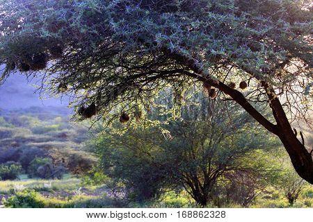 Tree with bird nests in Tsavo East Park in Kenya