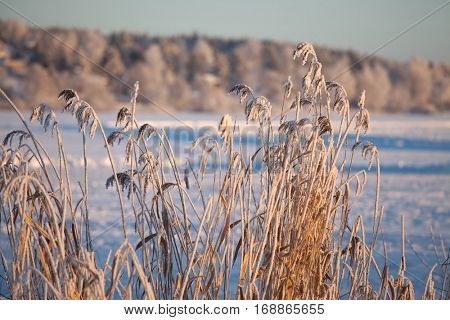 Frozen reed plants on a lakeside
