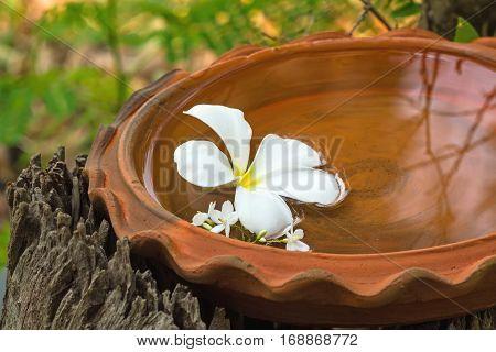 White Plumeria spp. (frangipani flowers Frangipani Pagoda tree or Temple tree) and Moke flower (Wrightia religiosa Benth) on bath touch-in spa conceptselective focus