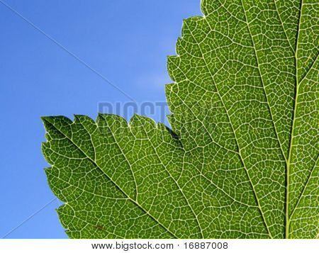 vector texture of the sheet of the birch on  blue background