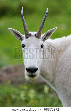 Mountain goat vertical portrait closeup in green meadow background