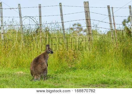 Bennett's wallaby in grassland near farm fence on Bruny Island Tasmania