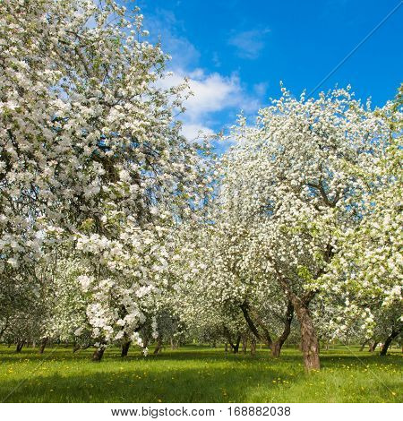 Beautiful Landscape with blossoming Apple garden in spring. Springtime. Colorful Nature Vertical Wallpaper