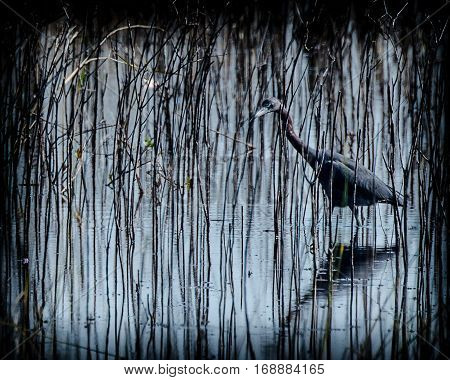 A vignetted view of a little blue heron wading in the tall grasses in a marsh