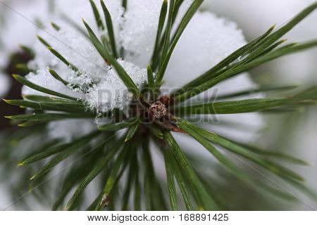Photography rearranges thin pine branch on which lies a layer of snow. At the top is brown bud, germ inflorescence.