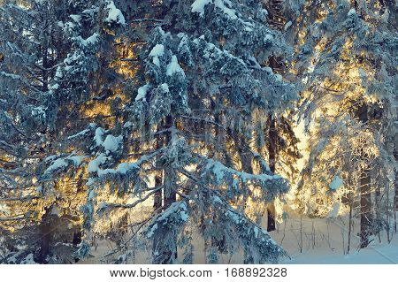 Fir trees covered by snow and hoarfrost at early morning. Pine trees lit by the morning sun. Fairytale winter landscape