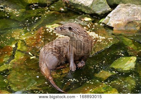 European Otter (Lutra lutra) in the wild