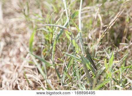 Close up of a spur-throated grasshopper on a blade of grass