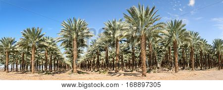 Date palms have an important place in advanced desert agriculture in the Middle East. Panoramic image