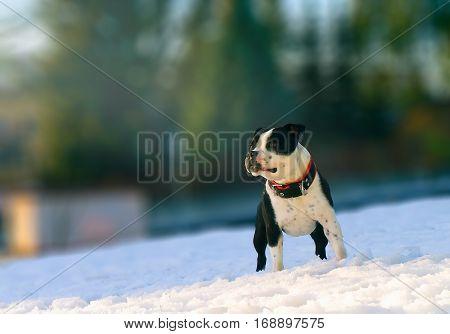 portrait of Staffordshire Bullterier in winter sunny day