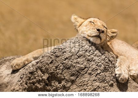 lion cub resting in the savannah of the Serengeti National Park, Tanzania