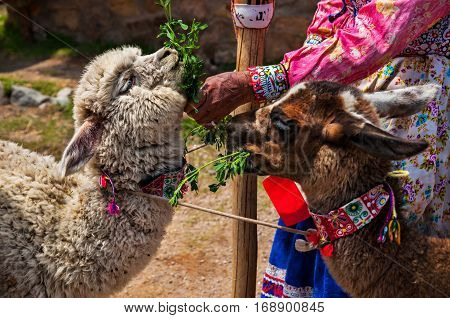 Lama and Alpaca in Andes Mountains Peru South America.