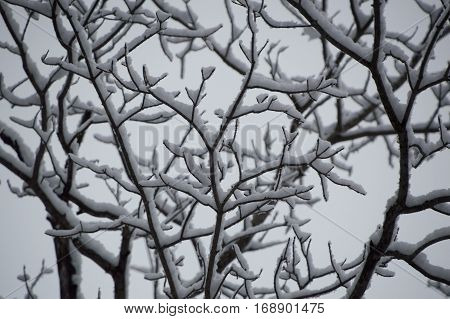 This black and white looking abstract design is random and squiggly and quite pretty. It shows the underneath of snow covered tree branches and catkins in winter.