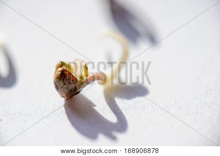 Macro detail of marijuana seeds sprout over white background - cannabis growing concept