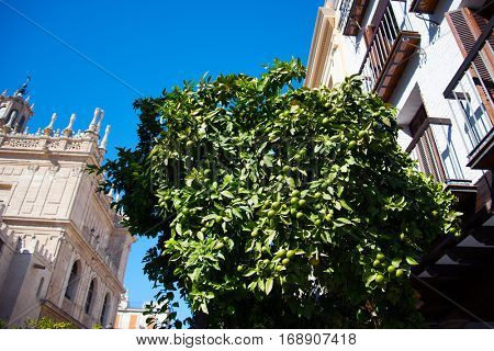 Fresh limes on lime tree growing on the street in Sevilla, Spain