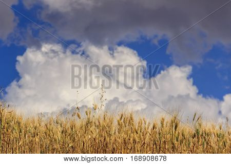 Summertime: ears of corn are dominated by clouds.Wheat field dominated by a cumulus cloud. ITALY