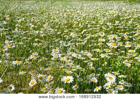 flowers camomiles on meadow. blossoming wildflowers chamomiles close up