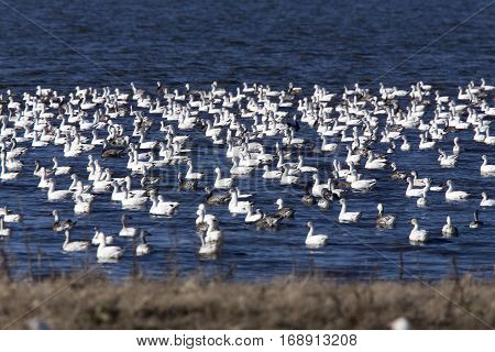 Swarm of Snow Geese in Saskatchewan Canada