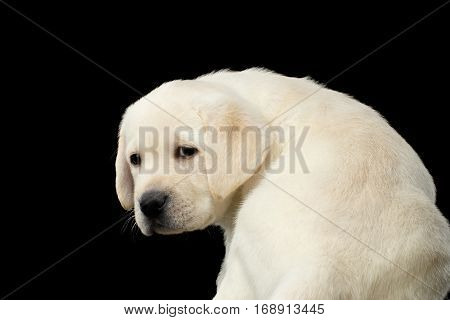 Close-up portrait of Sad Labrador puppy Turn back and Looking sad on isolated Black background