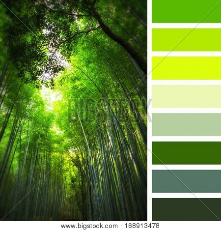 Grove of giant bamboo in Kyoto, Japan. Set In a colour palette with complimentary colour swatches.