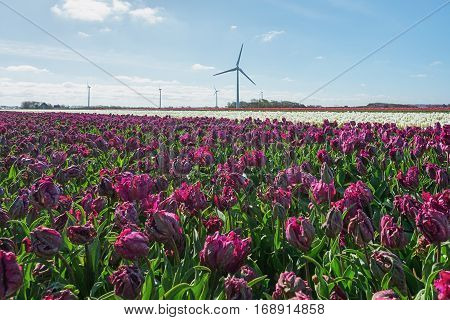 A field of purple tulips in the province of North Holland in The Netherlands.