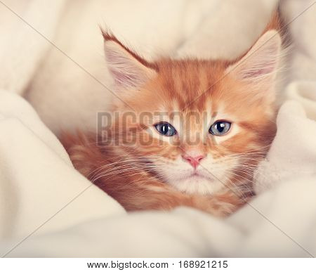 Beautiful Red Solid Maine Coon Kitten Covered In Warm Blanket And Looking Calm. Soft Toned Closeup P