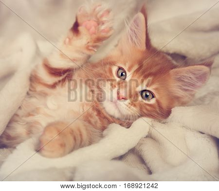 Beautiful Red Solid Maine Coon Kitten Covered In Warm Blanket And Pkaying The Paw. Soft Toned Closeu