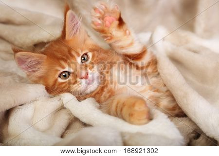 Beautiful Red Solid Maine Coon Kitten Covered In Warm Blanket And Pkaying The Paw. Soft Portrait