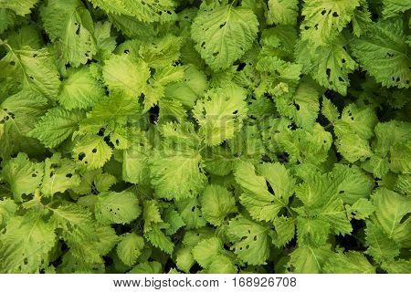 Crops grown organically. Crops grown without pesticides. Shiso plant (Perilla frutescens var. crispa) grown without pesticides, with many insect holes on leaves.