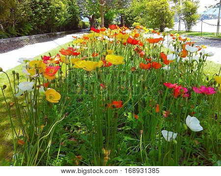 beautiful colorful flowers in the park poppies Isola Madre the Borromean Islands Stresa Piedmont Lombardy Italy