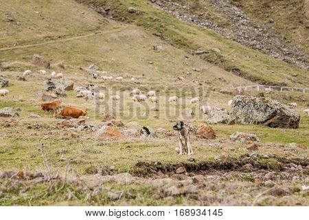 Central Asian Shepherd Dog Tending Sheep In The Mountains Of Georgia. Alabai - -An Ancient Breed From The Regions Of Central Asia. Used As Shepherds, As Well As To Protect And For Guard Duty.