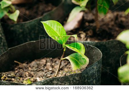 Small Green Sprouts Of Tree Plant With Leaf, Leaves Growing From Soil In Pot In Greenhouse Or Hothouse. Spring, Concept Of New Life.