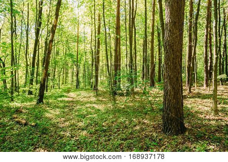 Spring Maple Trees Woods. Sunlight In Deciduous Forest, Summer Nature, Sunny Day. Summer Forest Landscape In Belarus Or European Part Of Russia