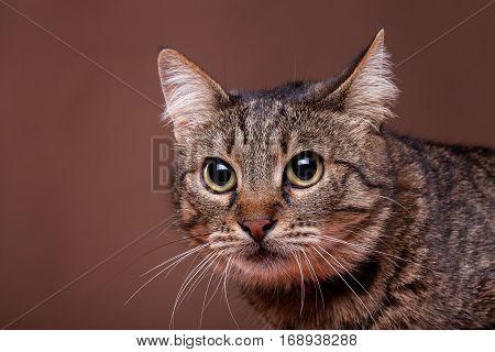 Cat In Studio On Brown Background