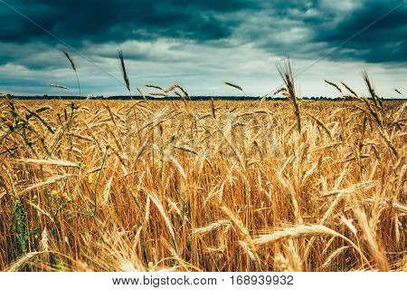 Yellow Golden Ripe Barley Ears In Summer Wheat Field. Moody Dark Sky Before Storm Under Rural Field Landscape.