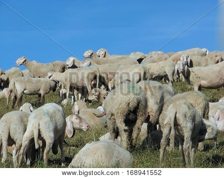 Flock With Many Sheep With Long White Fleece Grazing On Mountain