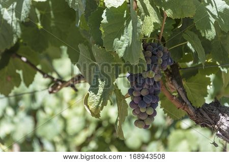 Branches of red wine grapes growing in Portugal fields. Close up view of fresh red wine grape in Portugal Vineyard view with big red grape growing. Ripe grape growing at wine fields. Natural grapevine