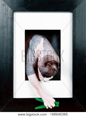 Cat in a black frame is played with a clothespin