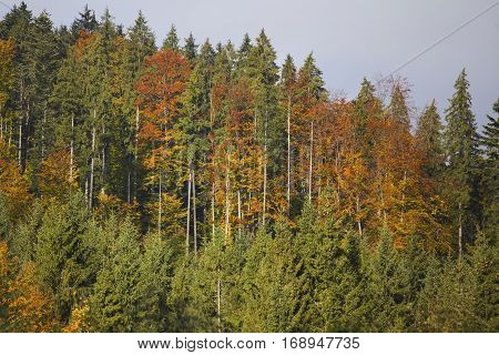 Autumn foilage in carpathian mountains multi colore