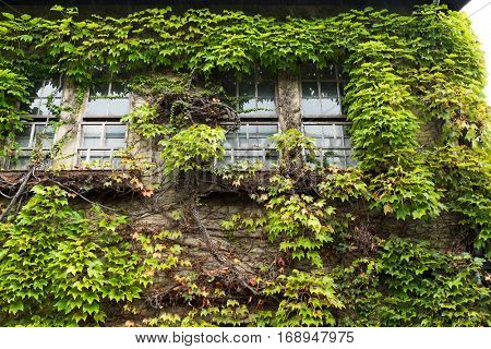 Ivy creeper on a wall surrounding window
