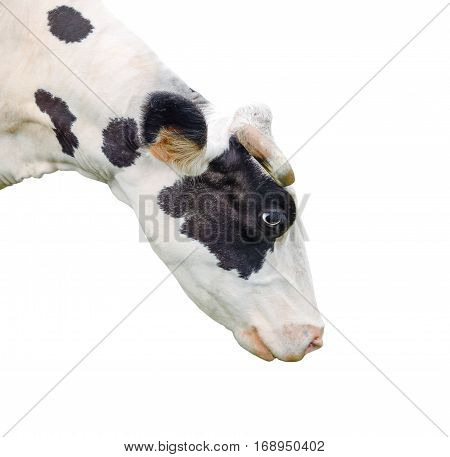 Funny cute cow isolated on white. Black and white curious cow close up. Farm animals. Pet cow on white. Cow looking down