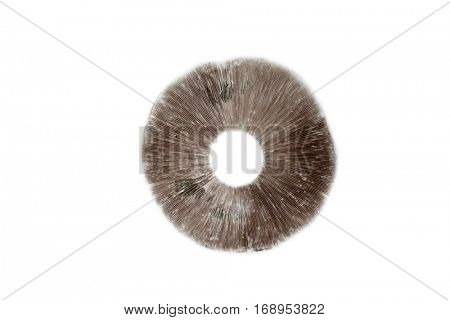 Mushroom Spore Print of the Agaricus Bitorquis. Wild Mushrooms are both edible and highly poisonous depending on the species. Spore Prints are one way to help identify the correct species.
