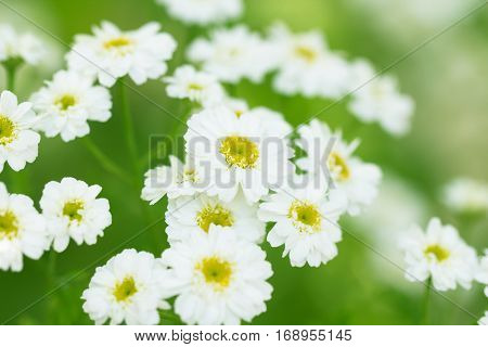 Beautiful camomile white flower on a green bright spring meadow macrot health background