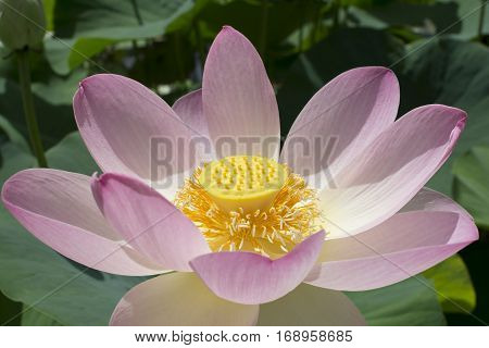 Close Up Nelumbo Nucifera, Sacred Lotus