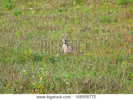 Photo of a eurasian collared dove standing in a field