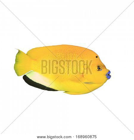 Tropical fish isolated. Three-spot Angelfish on white background