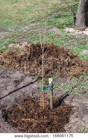 Fruit tree seedling planted in the ground and covered mulch of compost gardening step by step guide