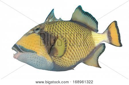 Fish isolated. Titan Triggerfish on white background poster