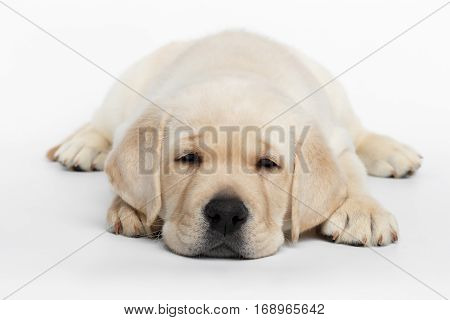 Unhappy Labrador puppy Lying and Looking down on white background, front view